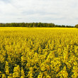 Canola field. — Stock Photo