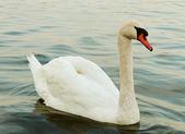 Swan on the lake. — Stock Photo