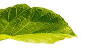 Hoja verde. — Foto de Stock