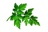 Twig of parsley. — Stock Photo