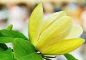 Yellow magnolia. — Stock Photo