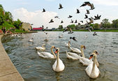Group of swans in Crakow. — Stock Photo