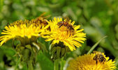 Three bees on the flowers. — Stock Photo