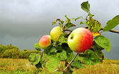Apple garden. — Stock Photo