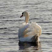 Swimming swan. — Stock Photo