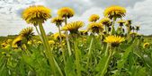 Meadow with dandelions. — Stock Photo