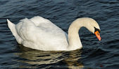 Swans on the lake. — Stock Photo