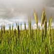 Wheat field. — Stock Photo #34200931