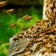 Stock Photo: Bees at beehive.