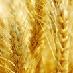 Wheat field. — Stock Photo #34201013
