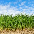 Natural growing wheat. — Stock Photo
