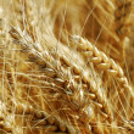 Wheat field. — Stock Photo #34201251