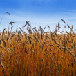 Wheat land. — Stock Photo