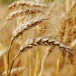 Wheat field. — Stock Photo #34201367