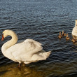 Swans with cygnets. — Stock Photo
