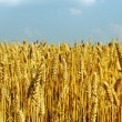 Wheat field. — Stock Photo
