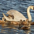 Swans with cygnets. — Stock Photo #34201771