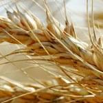 Wheat field. — Stock Photo