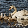 Swan with cygnets. — Stock Photo