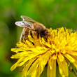 Bee on yellow dandelion. — Foto Stock