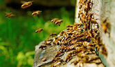 Bees at the beehive. — Stock Photo