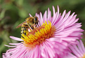 Bee on the aster. — Stock Photo