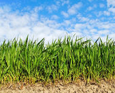 Natural growing wheat. — Foto Stock