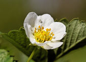 Flower of strawberry plant. — Stok fotoğraf