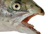 Natural head of salmon. — Stock Photo