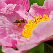 Stock Photo: Pink peony flower.