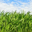 Natural growing wheat. — Stock Photo #38296923