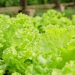 Stock Photo: Lettuce in greenhouse.