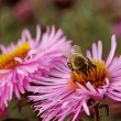 Bee on the flower. — Stock Photo #38297221