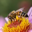 Bee on the flower. — Stock Photo