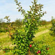 Stock Photo: Small apple tree.