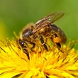 Stock Photo: Bee on yellow dandelion.