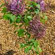 Stock Photo: Young tree of lilac.