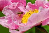 Pink peony flower. — Stock Photo