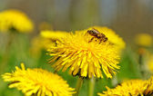 Bee working on the field. — Stock Photo