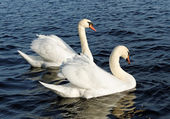 Pair of swan. — Stock Photo