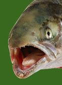 Head of salmon. — Stock Photo
