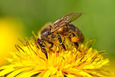 Bee on yellow dandelion. — Stock Photo