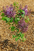 Young tree of lilac. — Stock Photo