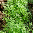 Growing dill. — Stock Photo
