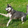 Alaskan Malamute. — Stock Photo