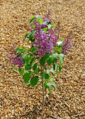 Young lilac tree. — Stock Photo