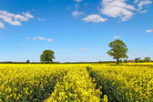 Landscape with canola field. — Stock Photo