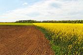 Paesaggio con campo di colza. — Foto Stock
