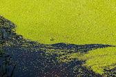 Green algae. — Stock Photo