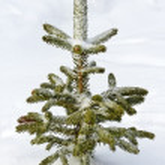 Natural pine tree. — Stockfoto